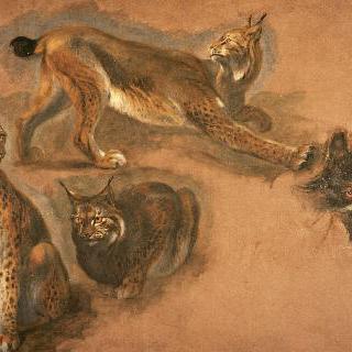스라소니와 늑대