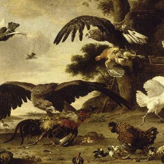 암탉을 공격하는 독수리