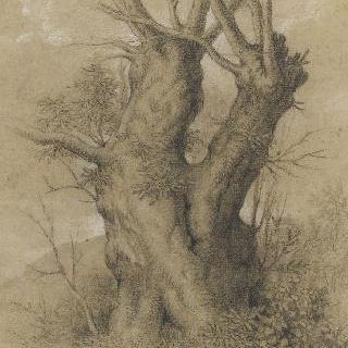 매우 두꺼운 나무 줄기와 두 잔가지들