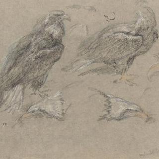 독수리와 독수리의 부리 습작