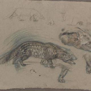 사향고양이의 몸, 머리와 발 습작