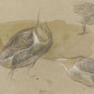 머리없는 물갈퀴가 있는 새의 습작 세 점