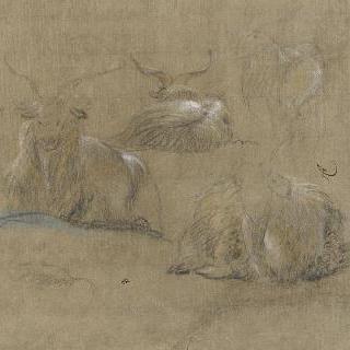 누워있는 야생 염소들 습작
