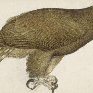 서 있는 황실의 독수리의 우측 방향 옆모습