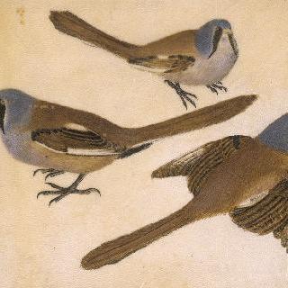 콧수염난 숫컷 깨새 : 날아가는 모습과 나무에 앉은 두 모습