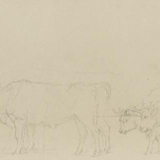 두 마리씩 쟁기에 맨 네 마리의 소