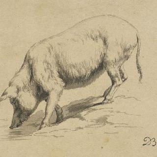 물 마시는 돼지의 왼쪽 옆 모습