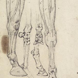 말의 다리에 대한 박피와 뼈