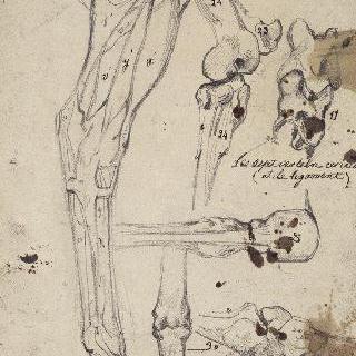 말의 오른쪽 앞 다리에 대한 박피와 뼈