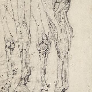 말 앞 다리의 두 뼈와 두 박피