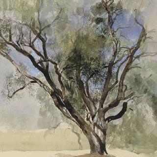 안티브의 폰테일의 올리브나무