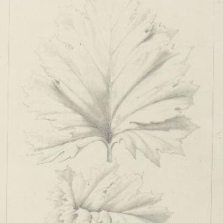 아칸더스 잎과 가시없는 아칸더스 잎 습작