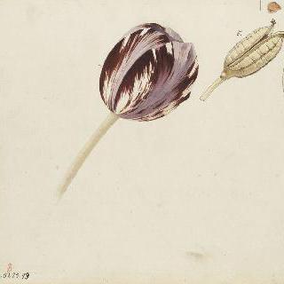 튤립 구근의 분극, 여러 빛깔의 튤립 꽃과 씨앗 습작