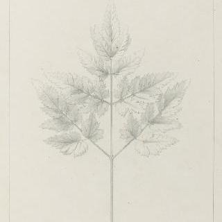 파슬리 잎 습작