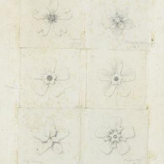 5개 꽃잎이 있는 꽃 습작