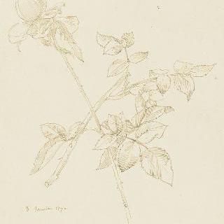 꽃이 핀 장미 가지 습작 2점