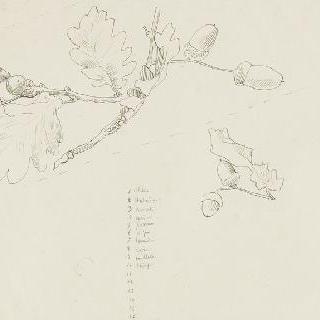 도토리가 열린 떡갈나무 가지 습작