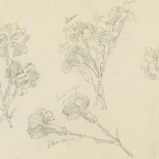 꽃봉오리가 핀 패랭이꽃 습작