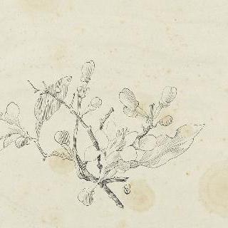 꽃이 핀 겨우살이 나뭇가지 습작
