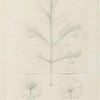 카모마일 잎과 제라늄 잎 습작