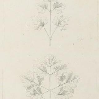 아네모네 잎과 파슬리 잎 습작