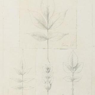 장미나무, 회양목, 재스민과 딱총나무 잎 습작