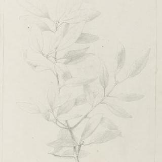 녹색 떡갈나무 잎 습작