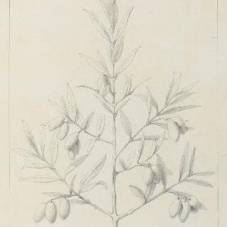 올리브나무 잎 습작