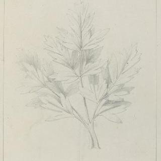 금어초 잎 습작