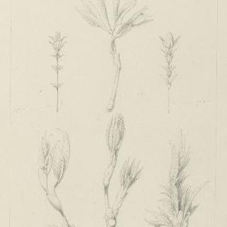 포도나무 잎, 백리향 잎과 수막 잎 습작