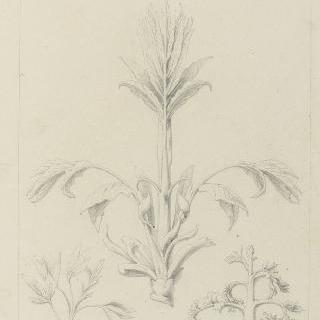 새싹 습작, 칠나무, 금작화, 피스타치오나무