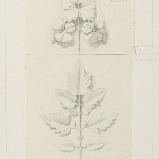 토마토 잎과 매발톱꽃잎 습작