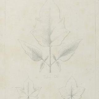 독말풀 잎, 조팝나무 잎과 키위나무 잎 습작