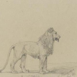 알제리의 사자