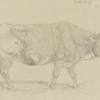 방목장의 소들