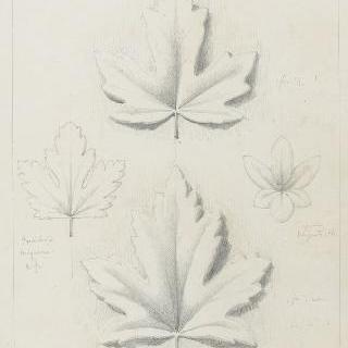 장미나무 잎, 야생 치커리앞과 구즈베리 잎 습작