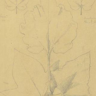 키위나무, 시네라리아