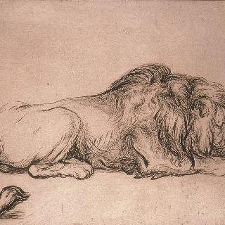 누워서 뼈를 갉아먹고 있는 사자
