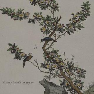 중국 식물 (산사나무)