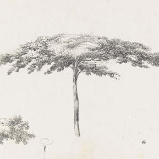 파라솔 소나무