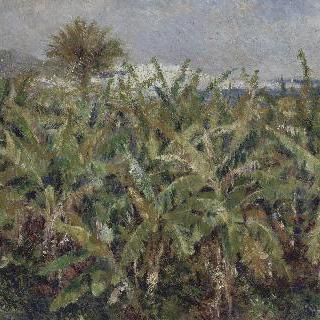 바나나나무 밭